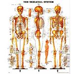 Wandplaat The Skeletal System