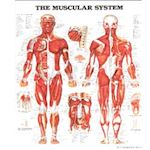 Wandplaat The Muscular System